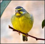 Title: YELLOWEYED CANARY