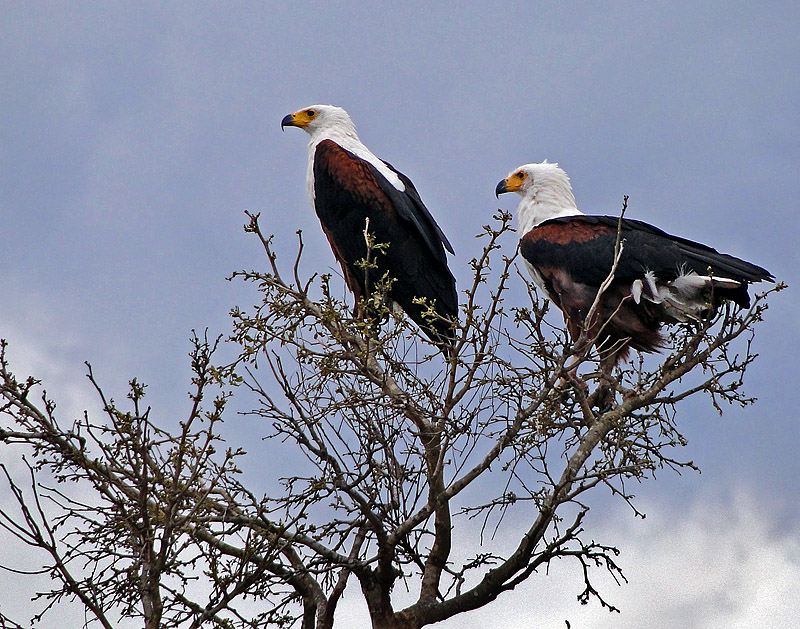 Eagles for Ivan & Ulla Kruys