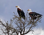 Title: Eagles for Ivan & Ulla Kruys