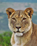 Title: Addo LionessCanon PowerShot SX30 IS