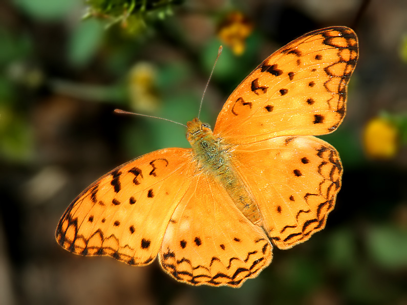 African Leopard - My 2nd Butterfly
