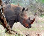 Title: Red-Faced Rhino
