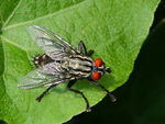 Title: Five-Legged Flesh Fly