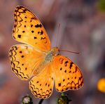Title: Common Leopard Fritillary For Peter Camera: Canon EOS 350D