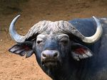 Title: Red-eyed Savanna Buffalo