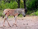 Title: Wounded Zebra Foal