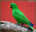 Title: Red-sided Eclectus