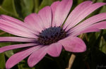 Title: African Daisy