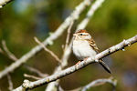Title: Chipping Sparrow