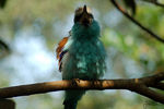 Title: Racquet-Tailed Roller