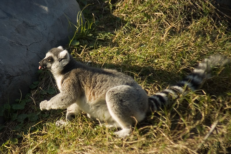 Stupid Faces - Ring-tailed Lemur