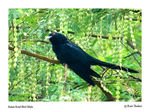 Title: Asian Koel Bird Male