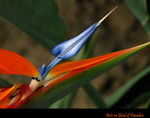 Title: Ants on Bird of Paradise