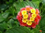 Title: Beauty of Lantana