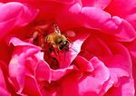 Title: BEE ON RED ROSE
