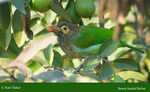 Title: Brown-headed Barbet