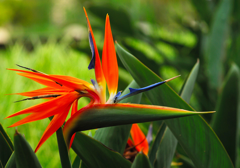 Black Ant On Bird of Paradise