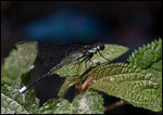 Title: Unidentified Damselfly