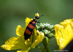 Title: Blister Beetle
