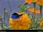 Title: Blue Pansy
