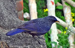 Title: Blue Whistling Thrush
