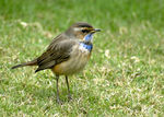 Title: Bluethroat FlycatcherNikon D200