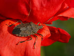 Title: Stink Bug on Red Rose