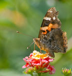 Title: Indian Red Admiral