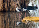 Title: Black-winged Stilts