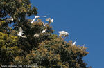 Title: Cattle Egrets on Mango Tree