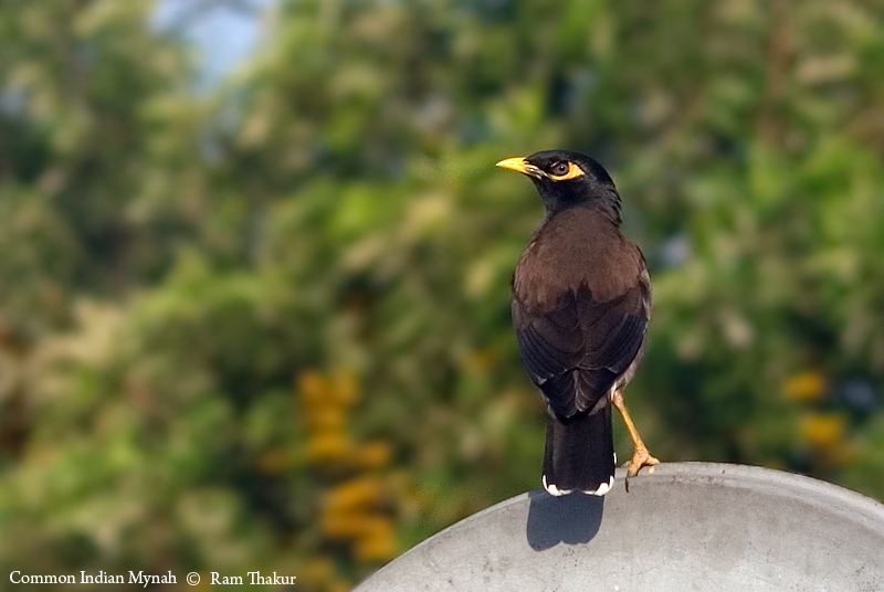 Common Indian Mynah