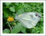 Title: Cabbage White