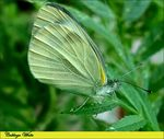 Title: Cabbage White II