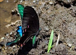 Title: Common Banded Peacock