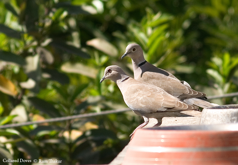 Collared Doves