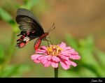 Title: Common Rose SwallowtailNikon D200