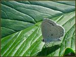 Title: Holly Blue