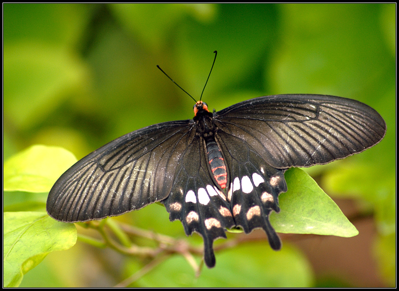 Common Rose Swallowtail