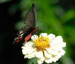 Title: Common Rose Swallowtail
