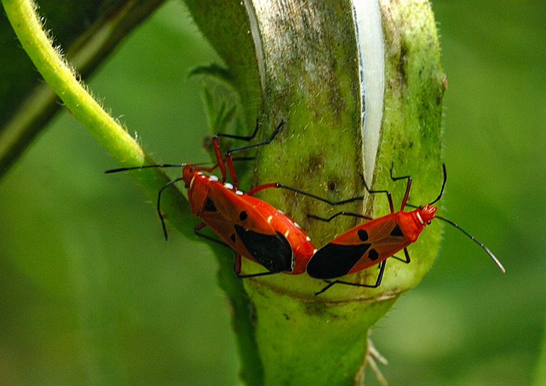 Cotton Stainers