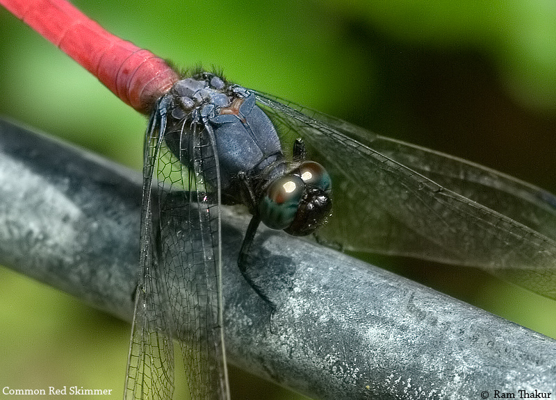 Common Red Skimmer
