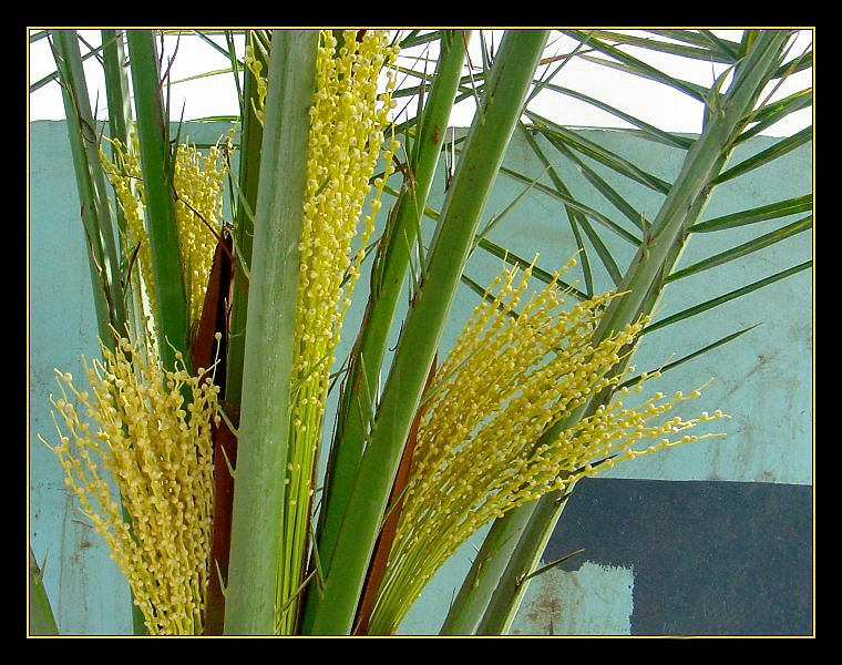 DATE PALM BLOSSOMS II