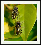 Title: Hoverflies:Soon After Mating