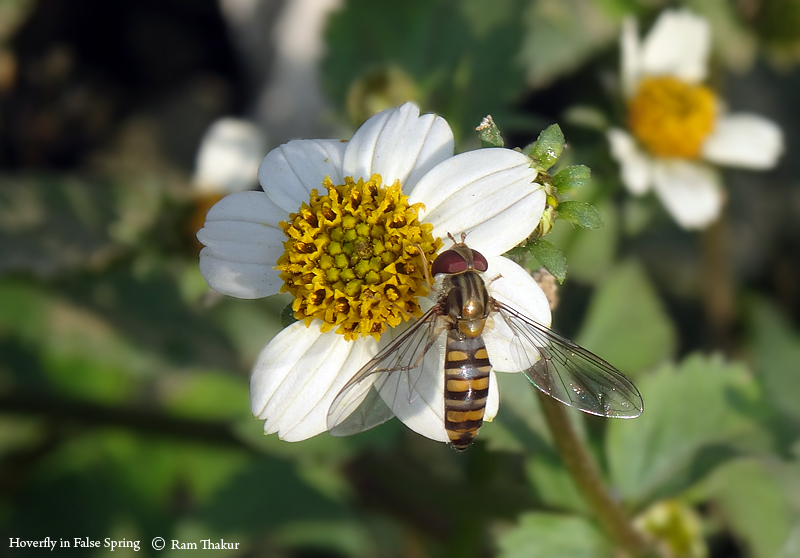 False Spring: Hoverfly in Winter
