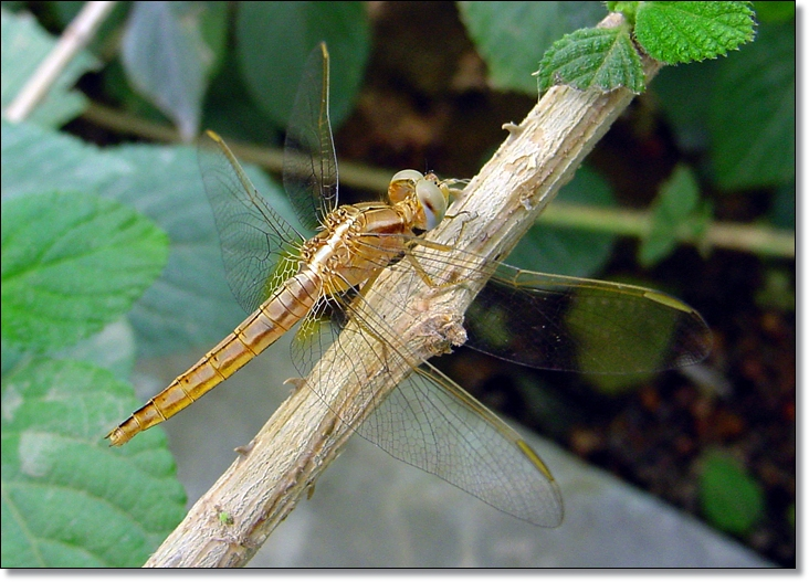 Female Scarlet Skimmer from Riyadh