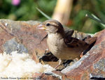 Title: Female House Sparrow