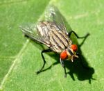 Title: Flesh Fly