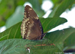 Title: Great Eggfly Female