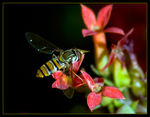 Title: Hoverfly on Flowers 2Nikon D200