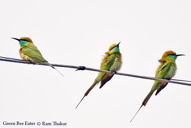 3 Green Bee Eaters